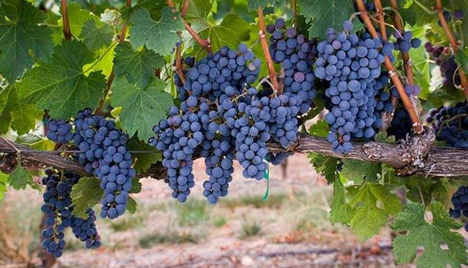 Grapes that are used in wines from Spain and Chile