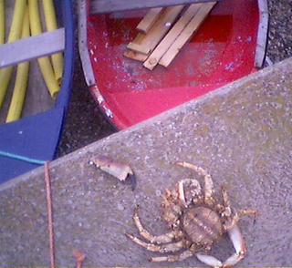 Crab on Sidmouth Beach in East Devon