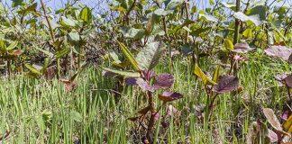 Japanese knotweed growing in the UK